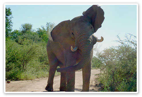 Elephant Sighting Pilanesberg Private Lodge Luxury Accommodation Malaria Free Big Five Black Rhino Reserve Pilanesberg Game Reserve Accommodation Booking